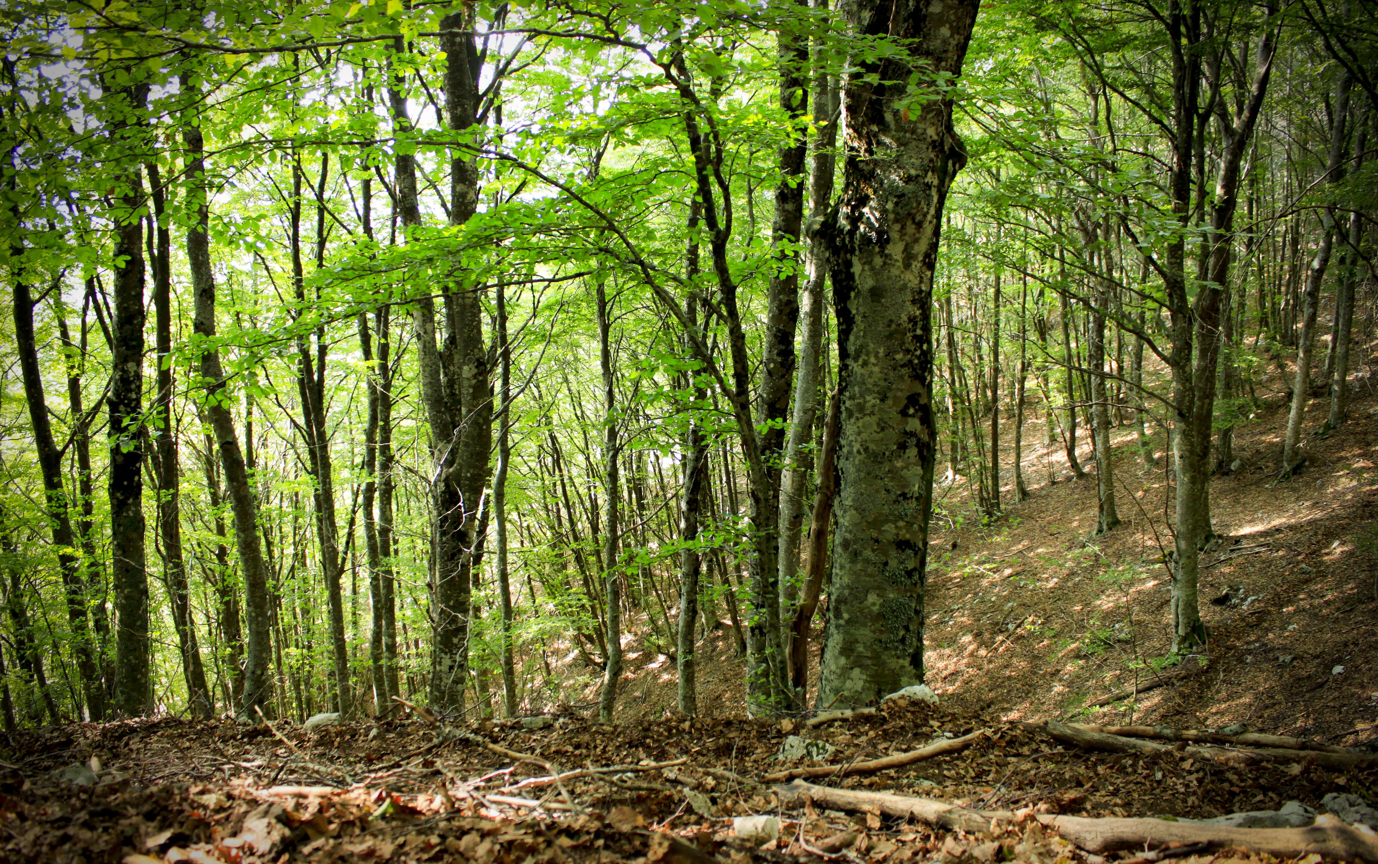 Particolare_della_foresta_di_faggi_-_Parco_Naturale_dei_Monti_Aurunci